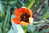 Tulipa_whittallii