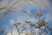 Umbellifer and Grass