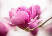 "Magnolia 'Eleanor May"""
