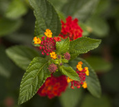Verbenaceae Lantana Radiation