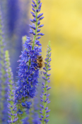 Veronica grandis with bee