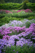 Aster Beds, Waterperry