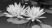 Water Lilly Black and White developement