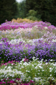 Asters, Waterperry Gardens