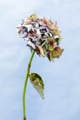 angea macrophylla 'Hortensia'