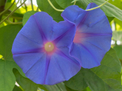 Ipomoea tricol heavenly blue