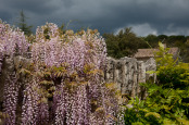 Wisteria in storm light