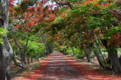 Avenue of flame trees