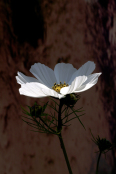 "Cosmos Bipinnatus ""Purity"""