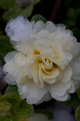 Double primrose