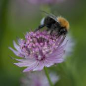 British bumblebee