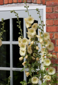 Cottage garden hollyhocks
