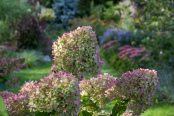 Hydrangea paniculata 'Limelight' in autumn glory