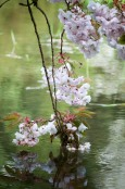 Cherry Blossom and Water