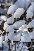 Dry Phlomis russeliana in winter cap.