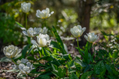Tulips 'Exotic Emperor'