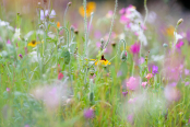 Pictorial meadow, Devon