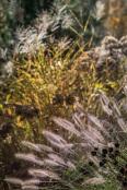 Pennisetum alopecuroides 'Hameln' in autumn glory