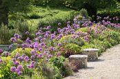 Alliums, Cowley Manor