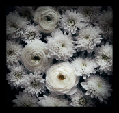 White chrysanthemums and ranunculus