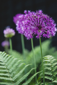 Alliums amongst Ferns