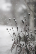 Rudbeckia seed heads in the snow