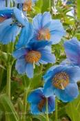 Meconopsis Sheldonii Lingholm - Himalayan Blue Poppy