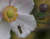 wasp on Japanese anemone
