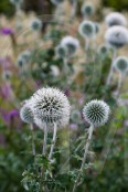 Frost and thistles