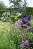 Delphinium in the border
