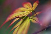 Acer palmatum 'Azuma Murasaki'