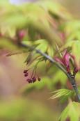 Acer palmatum 'Ibu Nishiki'