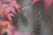 Acer with spider's web, rain