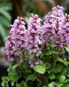 Ajuga reptans 'Little Court Pink'