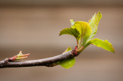 Emerging Apple Leaves