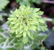 Anemone nemorosa viridiflora