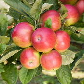 Apple 'Idared'