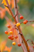 Autumnal berries of Malus transitoria