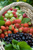 Basket of summer berries