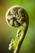 BUD OF DICKSONIA ANTARCTICA (SOFT TREEFERN)