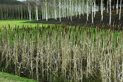 Bulrushes and birches