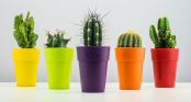 Cactus, Cactuses, Cactus
