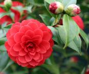 Camellia japonica 'Spring Fling'