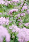 Chaerophyllum hirstum 'Rosea'