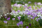 Crocus tommasinianus varieties and snowdrop Galanthus nivalis naturalised in grass.