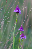 Pyramidal orchids growing wild in Breckland, Norfolk