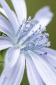 Chichorium intybus