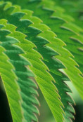 Deceptive closeup of Melianthus