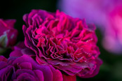 Sparkling Rose Petals