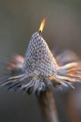 Echinacea pallida seedhead